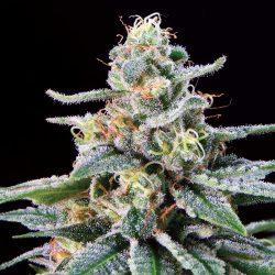 Shangri-La Cannabis Strain