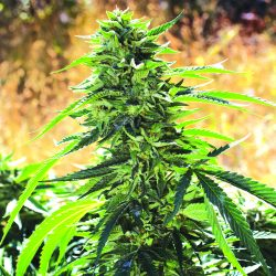 Super Sour OG Cannabis Strain