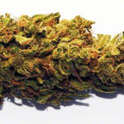 Swiss Gold Cannabis Strain