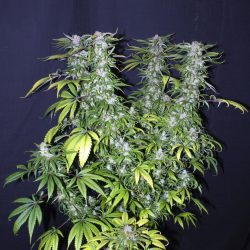 Xanadu Cannabis Strain