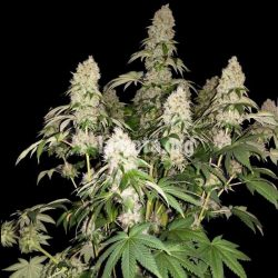 White Caramel Cookie Cannabis Strain