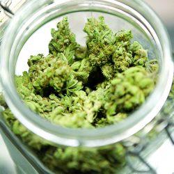 Wonka's Bubblicious Cannabis Strain
