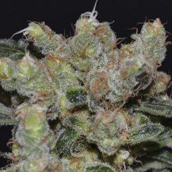 Zen Cannabis Strain