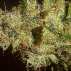 African Cannabis Strain