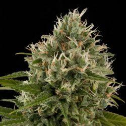 Industrial Plant Cannabis Strain